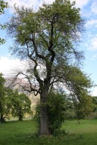 Sterbender Palabirn-Baum in Lichtenberg